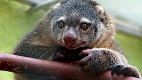 We wrocławskim zoo po raz pierwszy urodził się kuskus niedźwiedzi