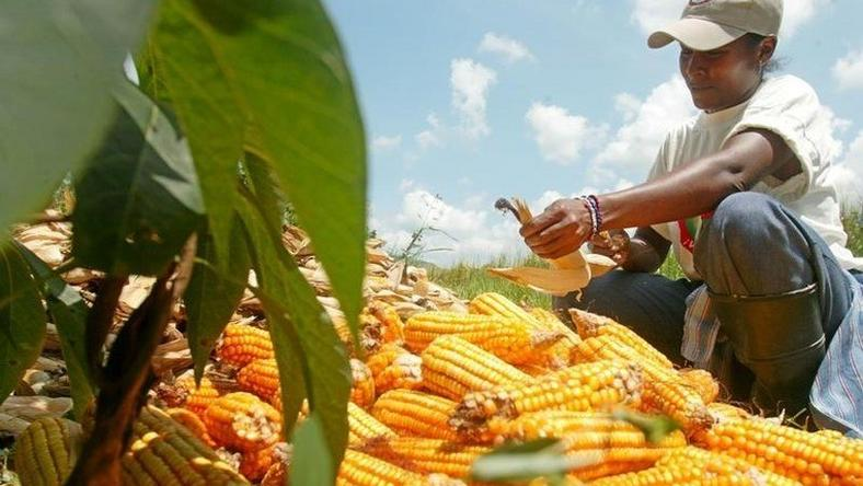 A member of a Venezuelan state-backed farming cooperative harvests corn in a file photo. REUTERS/Howard Yanes