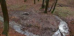 Dwa zabite żubry w Bieszczadach. Leśnicy ustalili winnego
