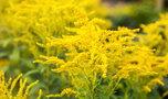 Ta roślina atakuje polskie pola i szkodzi pszczołom. Miód z niej uważany jest za lekarstwo. Czy słusznie?