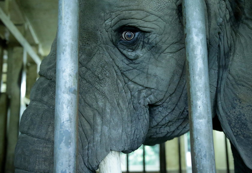 Dostojna słonica