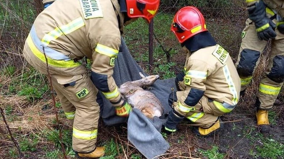 Cieszyn: strażacy uratowali jelonka. Trafił do schroniska