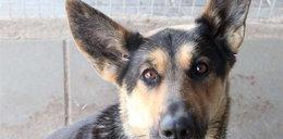 Zobacz psa z wielkimi uszami