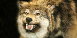 Piłami spalinowymi bronili się przed wilkami. Zwierzęta zostały zastrzelone. Są wyniki sekcji zwłok