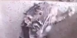 Niesamowite wideo! Szczur kąpie się jak człowiek