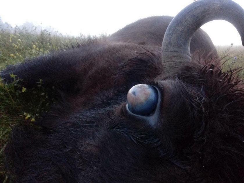 Chorobę wywołują nicienie przenoszone przez pasożyty, które atakują oczy żubra
