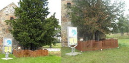 Najstarsze drzewo usycha. Mieszkańcy zbierają pieniądze!