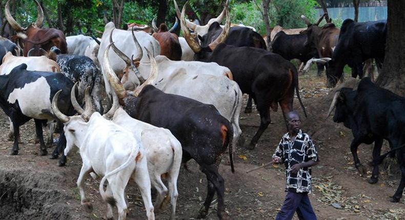 Police arrest herdsman, 73 cows, 13 sheep over alleged farm destruction.