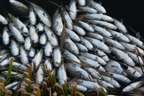 Ribe uginule zbog nedostatka kiseonika, što je indikator zagađenja vode