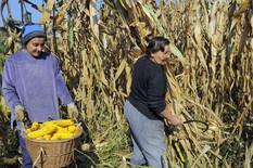 bijeljina berba kukuruza