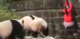 Dziecko wpadło do zagrody dla pand. Uratowali je strażnicy