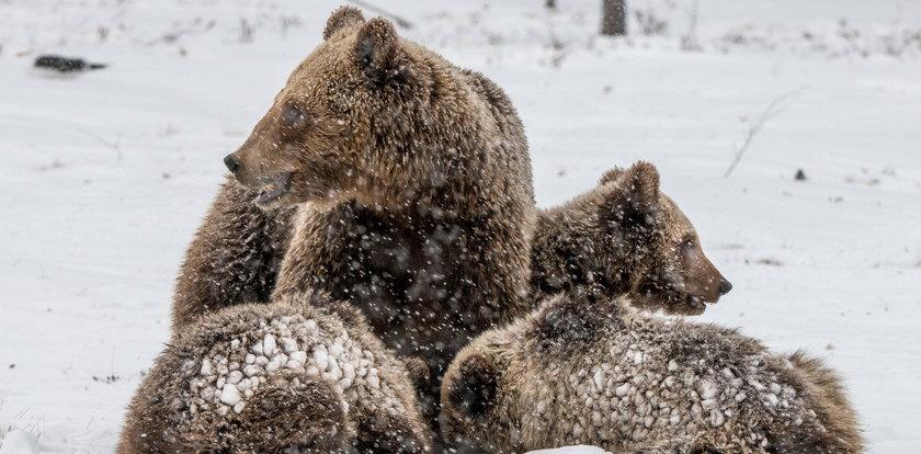 Niedźwiadek sturlał się ze stoku w Tatrach. Niezwykłe wideo