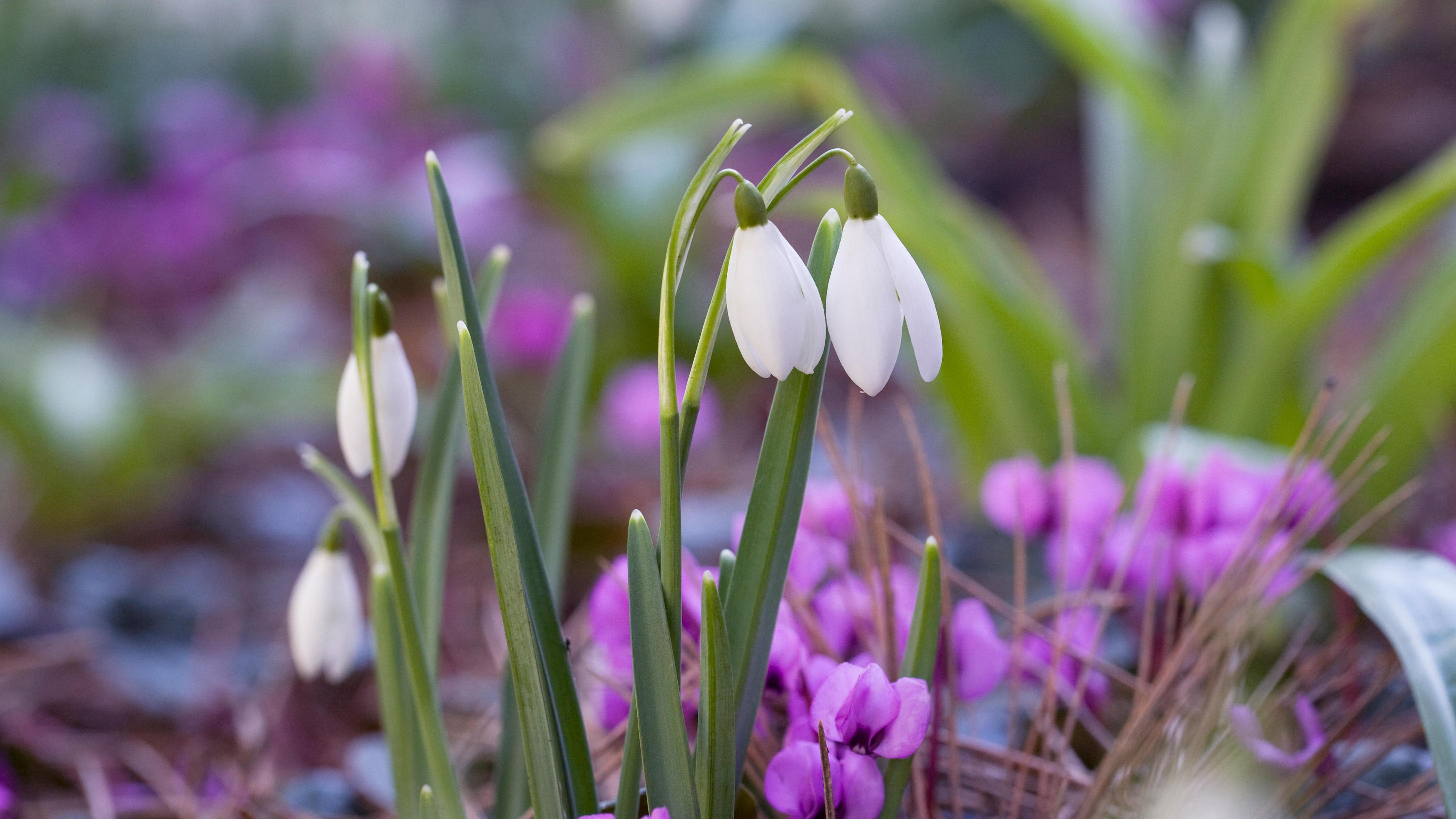 Pierwsze Wiosenne Kwiaty Byliny Rosliny Cebulowe Dom