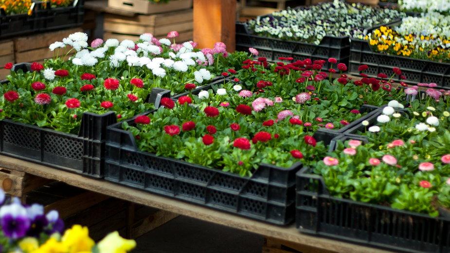 W marketach jest bardzo duży wybór roślin doniczkowych i ogrodowych - JoannaTkaczuk/stock.adobe.com