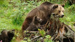Niedźwiedzie w Tatrach  budzą się z zimowego snu
