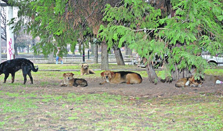Psi lutalice centar Valjevo01_foto Predrag Vujanac