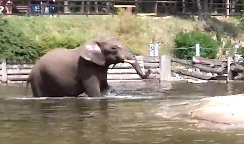 Słonica Kizi ochładza się w wodzie