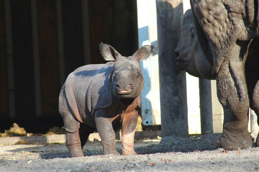 Mały nosorożec ma różową łapkę