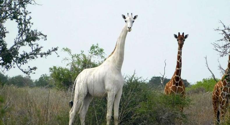 Kenya's only female white giraffe and her calf slaughtered by poachers. (Twitter/Nation)