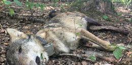 Najsłynniejszy wilk z Roztocza zastrzelony przez myśliwych