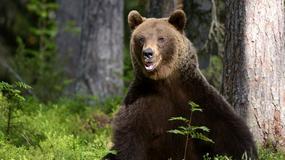 Bieszczady: mróz uśpił niedźwiedzie