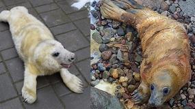 Znamy płcie i imiona nowo narodzonych fok