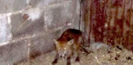 Dziwne zwierzę koło Rzeszowa. Weterynarz rozwikłał zagadkę