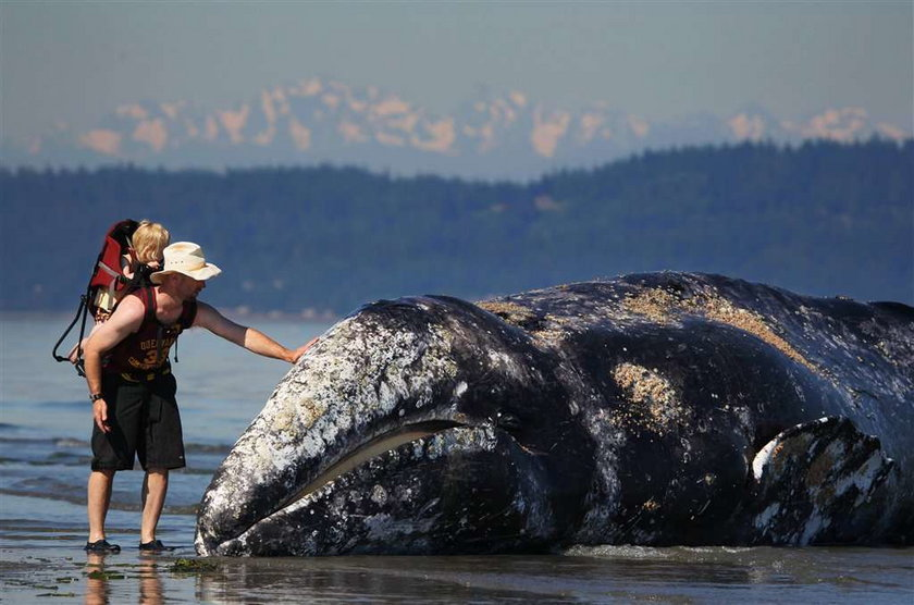 Jak pobrać smarki wieloryba? Antynoble 2010