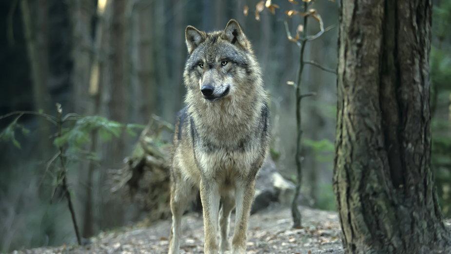 Wilki raczej unikają spotkania z ludźmi - Reise-und Naturfoto/stock.adobe.com
