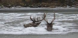 Myśliwi uratowali tonące jelenie!