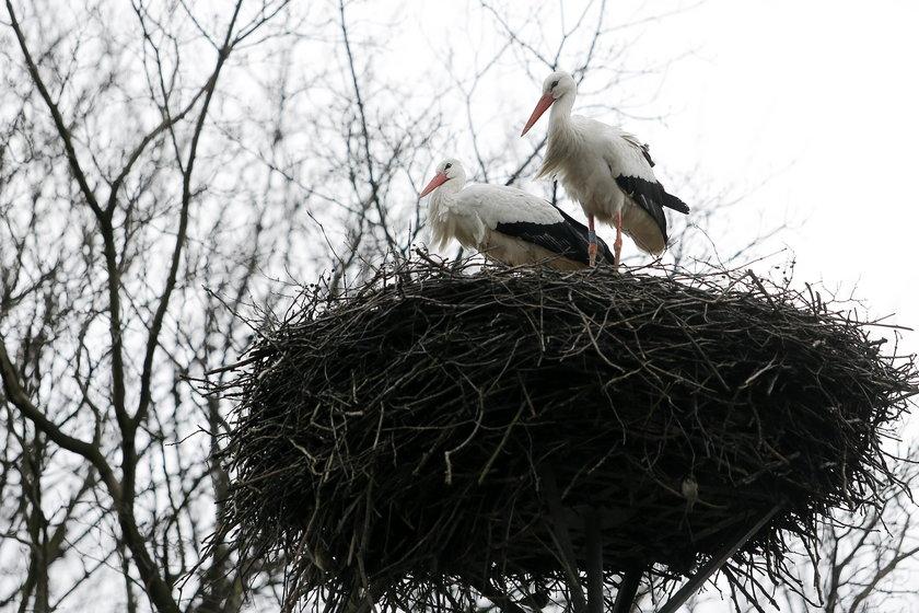 Para bocianów wróciła do Katowic