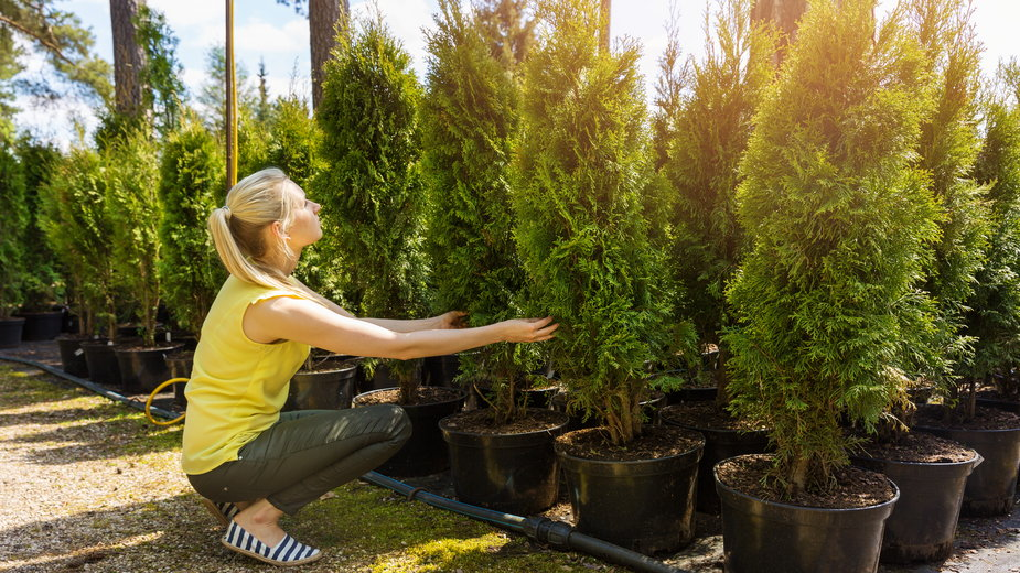Tuje to bardzo popularne iglaki uprawiane w ogrodzie i w donicach - ronstik/stock.adobe.com