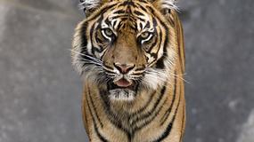 """Przerażeni policjanci przez 45 minut próbowali podejść do """"tygrysa"""""""