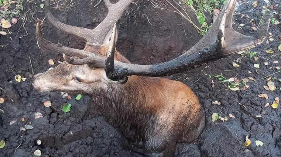 Otwock: strażacy uratowali z bagna dwa jelenie
