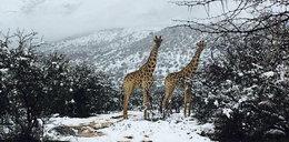 Żyrafy, słonie i... śnieg. Atak zimy w Afryce!