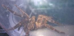 Znaleźli w mieszkaniu jadowitego pająka. Nie zgadniesz, gdzie był!