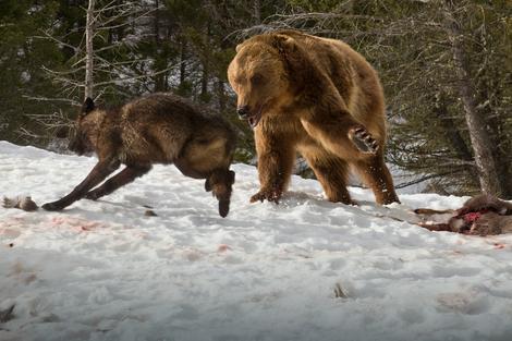 Napravedna borba: Vuk i medved se bore za plen