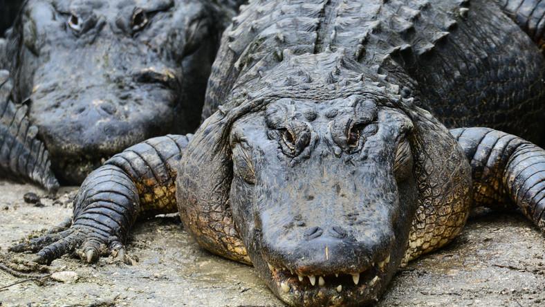 Aligatory