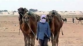 Tunezja: wielbłądy - okręty pustyni
