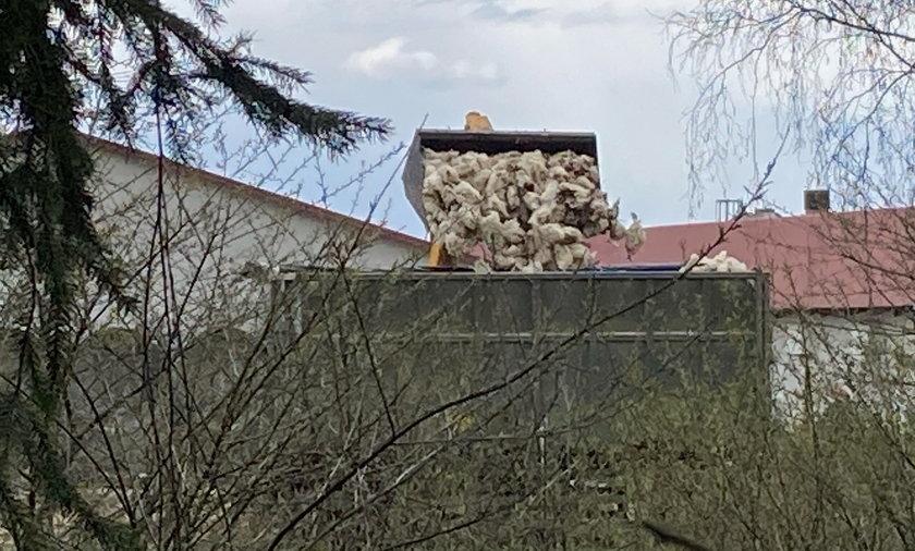 Ptasia grypa atakuje Polskę.