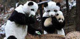 Najdziwniejszy zawód świata? Człowiek uczy pandy żyć w dziczy