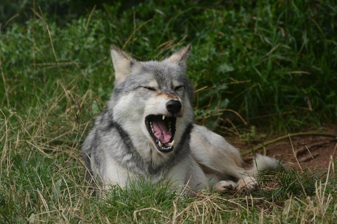 Sveti Mrata bio je zaštitnik vukova