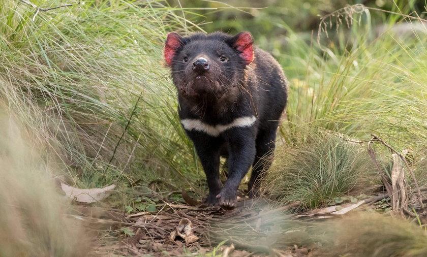 Po 3 tysiącach latach urodziły się pierwsze diabły tasmańskie.