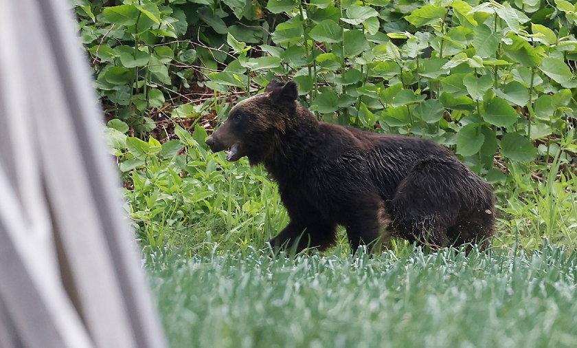 Niedźwiedź brunatny został zastrzelony w Saporro.