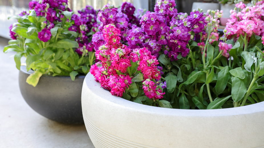 Maciejki pięknie prezentują się w donicy - vikakurylo81/stock.adobe.com