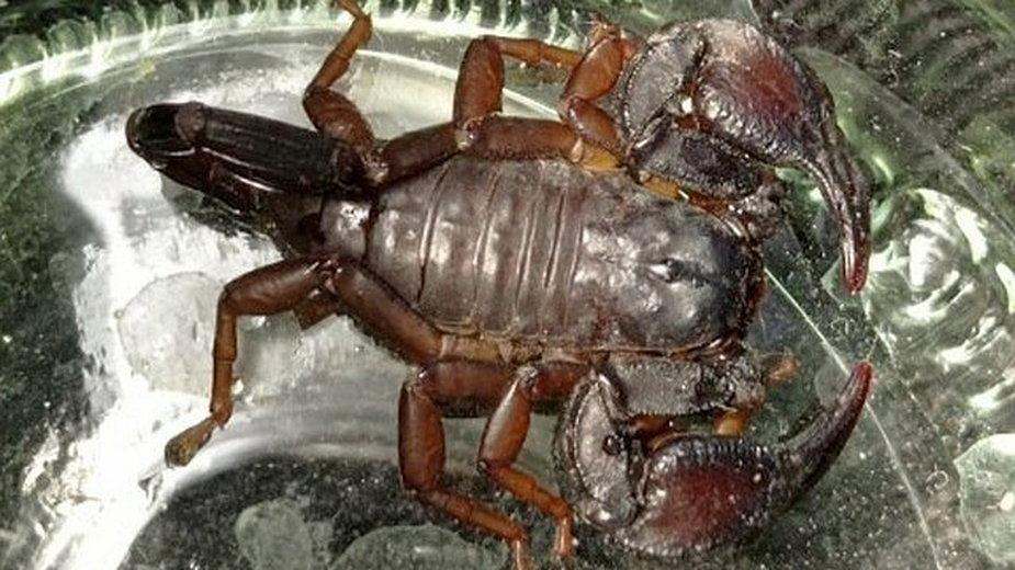 Skorpion trafił do Polski najprawdopodobniej z Włoch