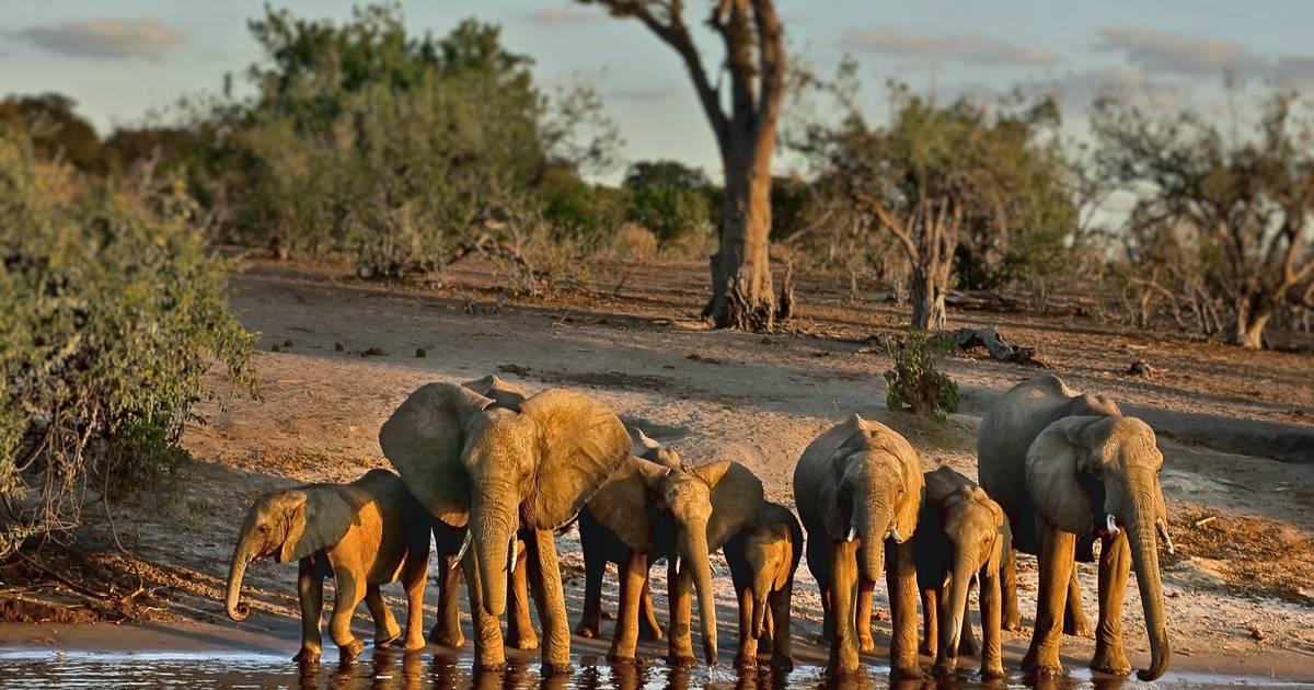 Mysteriöses Massensterben: Hunderte tote Elefanten in Botsuana gefunden