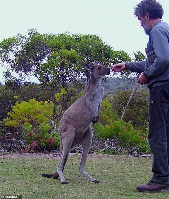 Fil hrani kengura na svom imanju