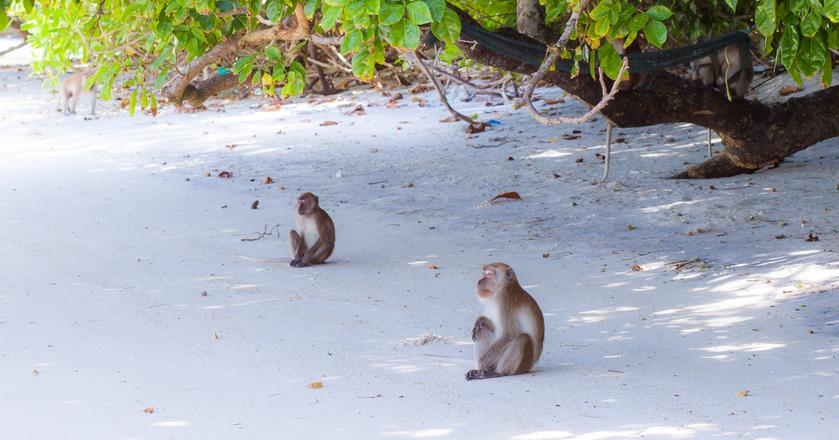 Jedną z najbardziej niesamowitych plaż na świecie jest Monkey Beach w Tajlandii. Można się tam zaprzyjaźnić z miejscowymi uroczymi małpkami, które uwielbiają być dokarmiane