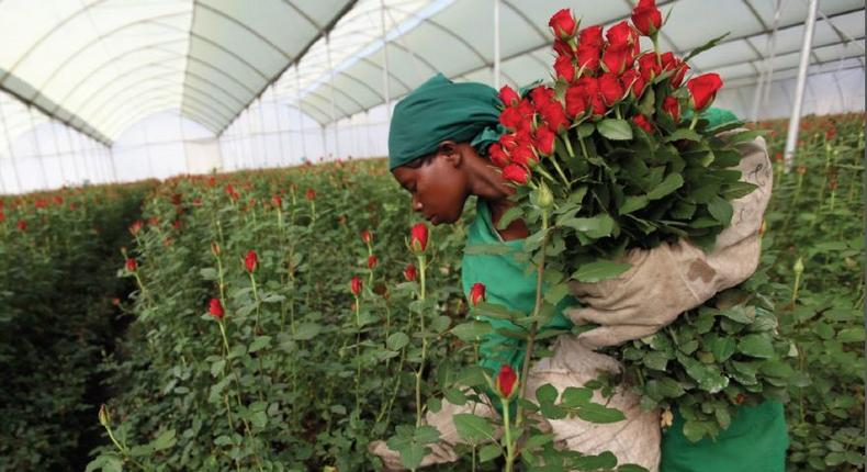 Kenyan cut flowers set to be banned from entering Australia.